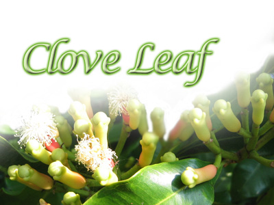 CLOVE LEAF OIL - Rakesh Sandal Industries