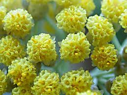 HELICHRYSUM OIL - Rakesh Sandal Industries